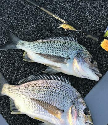The author managed these healthy bream on an afternoon flats session. These fell to a Damiki DTSCO hardbody lure in natural colours.