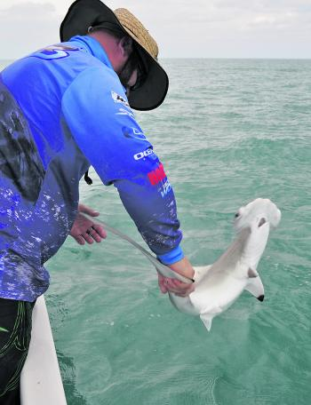 Not only marlin follow the bait schools – all sorts of sharks are looking for an easy meal too.