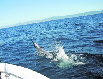 Marlin are about this month not that far out from the coast.