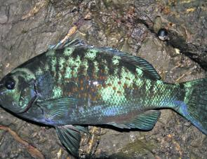The blue drummer is not a common catch from the rocks but can often get into the berley mix.