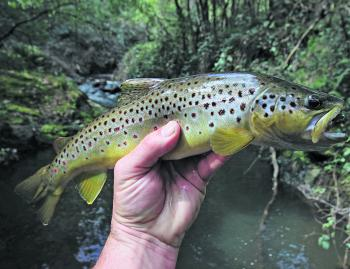 A beautiful brown trout from a small tributary of the King River taken on a Strike Tiger 1