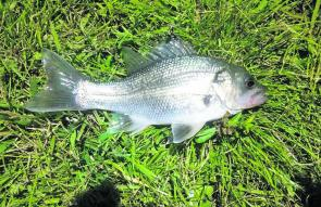 Bass have apparently been illegally stocked in Lake Burley Griffin. This healthy 25cm specimen is the second caught in recent months. It was in perfect condition despite being well out of its natural range, the nearest of which are the drainage systems al