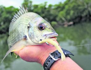 This bream fell to a white Mini Flicktail Jelly Prawn Lure. With their slow sink rate, life-like appearance and ultra-realistic action, these lures lend themselves perfectly to switch-baiting.