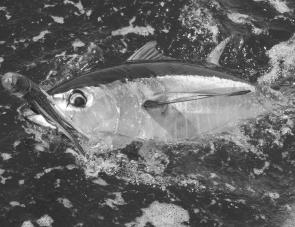 Small yellowfin tuna can still be trolled up in March although most game fishos are fixated on the great billfish action.