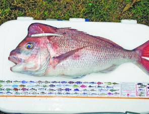 Shane Johnson of Maclean caught this beautifully proportioned 6kg+ snapper – not bad for an inshore red of late summer.