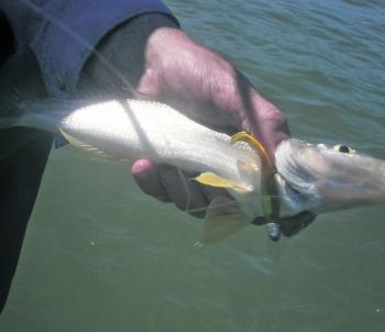 Whiting will take soft plastics on the shallow flats especially if the water isn't too clear.