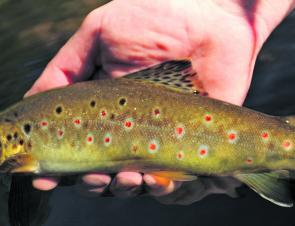 The colours of Tasmania's wild stream browns are amazing.