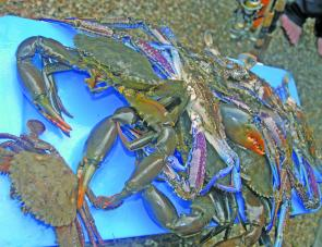 The prolific rain has brought on good numbers of crabs, like these from the Broadwater.