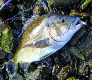 Geilston Bay is the place for good-sized bream on the shore.