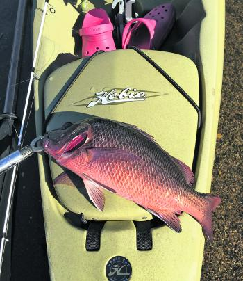 A late season mangrove jack is a great way to christen the new Hobie!