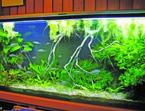 It is very apparent that oxygen deficiency has a greater effect on aquarium fish than any other variable, including pH and water temperature.