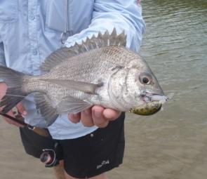 Another bream falls to a well presented Atomic Crank 38.