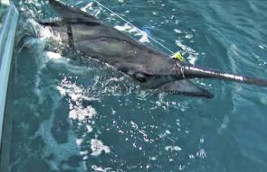 The black marlin fought hard with dogged determination to win its freedom.