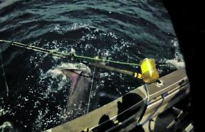 Black marlin are normally a by-catch in New Zealand as the temperature is a little too cold for them to be consistently targeted.