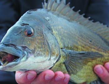 This bream is singing for joy and you will too at stunning Lakes Entrance.