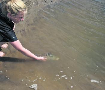 Kyla releasing a grunter, one of her first fish on soft plastics.