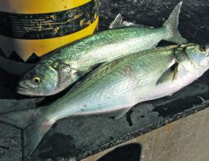 Tailor have been around in better numbers, try trolling around the mouth of the Hunter River or use bait after dark.