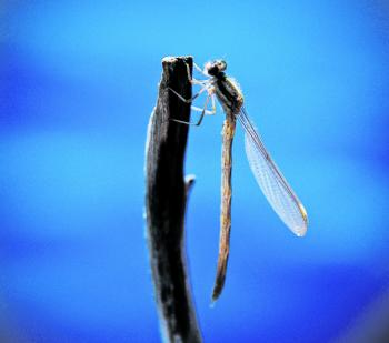 The damsel fly nearing its adult stage. Just hatched and drying its wings ready to take to the air.