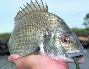 Bream are biting freely, with fair number of fun-sized sized fish in the lower feeder creeks and around the oyster leases.