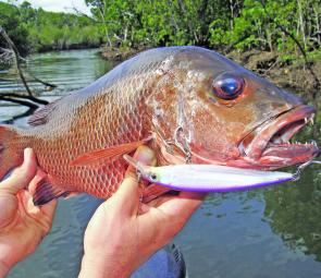 Big mangrove jacks are an exciting fish to catch around timber and mangrove roots.