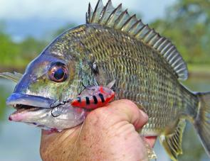 Bream numbers are low thanks to the beach haulers but there's always a few lurking up the feeder creeks that are keen to strike a well worked lure.