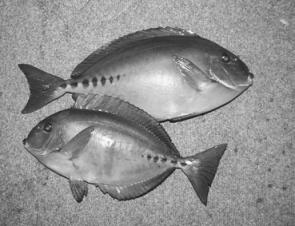 Tasty sawtail surgeonfish are weed-eaters which have very robust grazing teeth which will nip easily through the light mono leaders used by luderick fishers.