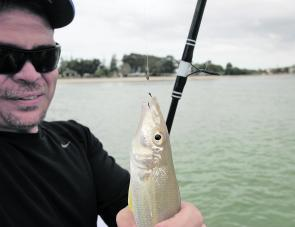 Whiting are a baitfishing staple and the water around Jacobs Well are literally loaded with these hard fighting and super tasty fish.