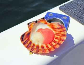 For something different, scallops can also be harvested from around the area. Divers can do in 5-12m of water along the edge of the channel while snorkelers can search for them off rye in 3-4m.