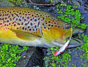 Brightly marked fish like this are a pleasure to catch and easy on the eye.0