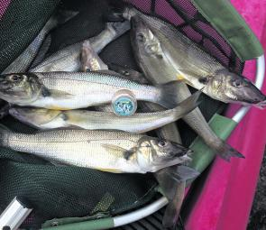 A nice bag of whiting using SAX scent smeared on the poppers.