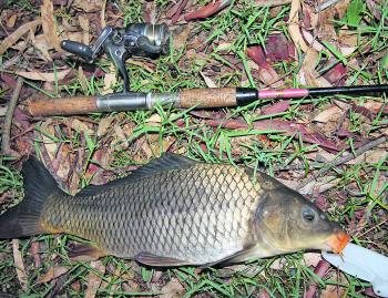 Love them or hate them, the European carp is a great fighting fish making them great fun to catch, and an excellent species to target with light line to hone you fish fighting skills. They're always a favourite with kids!