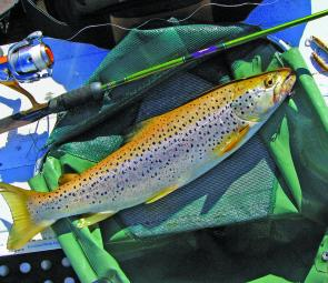 There is no mistaking a searun trout – bright and silvery with few or no red spots.
