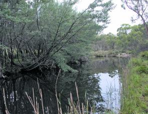 A section of small stream cod habitat: where branches overhang is a great place to drop a fly.