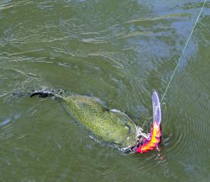 A Murray cod caught on a JD superbug. Small Murray cod will hit a large lures equally as often as large Murray cod.