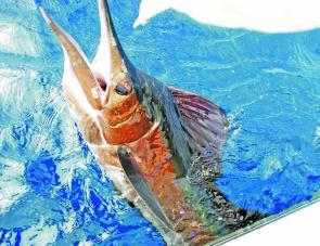 Large schools of bait are being frequented by these huge sailfish.