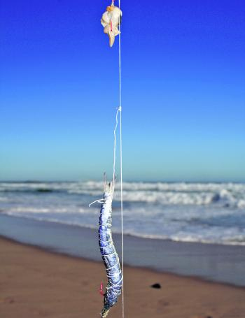 The Paternoster rig is particularly productive when fishing the surf.
