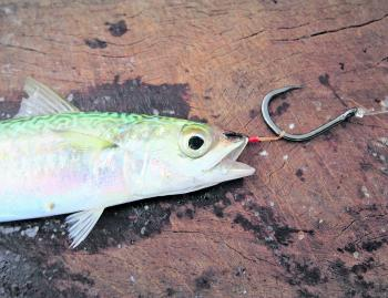 There are many ways to rig live baits, especially for kingfish, but this has been found to be the most effective.