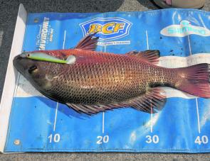 This jack was caught on a Z-Mann Swimmerz. The most popular colour has been white in the estuaries.