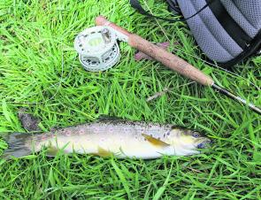 Nice darts – a sparkling brown trout with a dry fly gob stopper.
