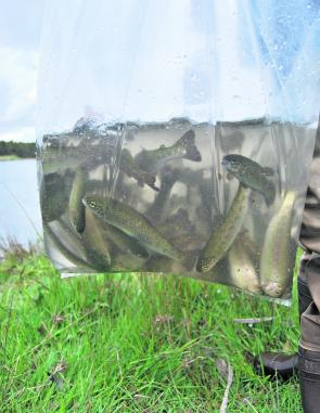 Trout stockings use one year old fish (yearlings), as they have a much higher survival rate.
