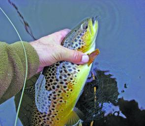 The colouration of brown trout in summer is striking – more often than not the trout in summer are very fat and fit.