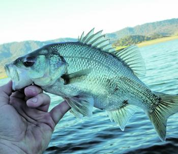 Australian bass are a great sportfish and where you find one you will normally find more.