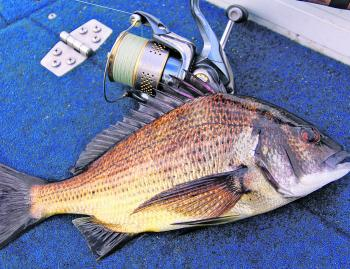 Fishing a bit deeper with a slow retrieve will account for some nice bream.