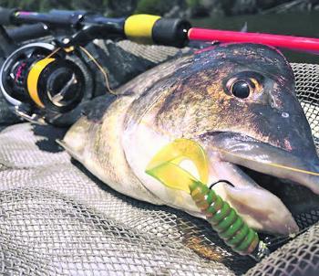 A great bream tricked with a soft plastic lure.