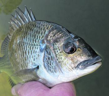 Plenty of bream are around now and they're keen to hit all manner of bait or lures. Many anglers though will be keen to target them over shallow areas with surface lures.
