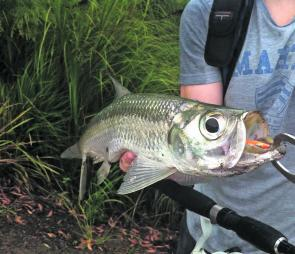 In that mouth is a 6cm Rapala X-Rap. Tarpon have big, bony mouths so leaders may have to be upsized from the usual 8-12lb we associate with bass and bream.