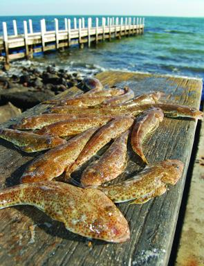 A good bag – despite the drop in their numbers sand flathead continue to be the bread-and-butter species for Bay anglers.