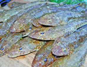 Where there's one there are bound to be more – so big bags of sand flathead are often caught.