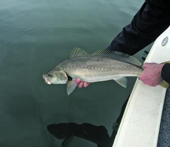 It's always a good feeling releasing mulloway.