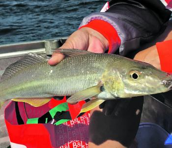 Stud whiting such as this 41cm specimen either come to experienced or lucky anglers. This one ate a 90mm lure targeted at mangrove jack over a rock bar.